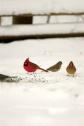 Birds in Snow 4 JRC